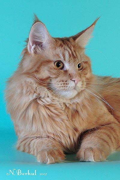 фэто кота, мэйкун, мэй кун, мейкун, мей кун, мейнкун, мейн кун. фото мэйкун.
